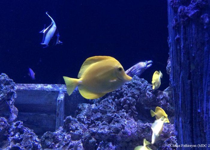 Yellow Tang Fish: Zebrasoma flavescens