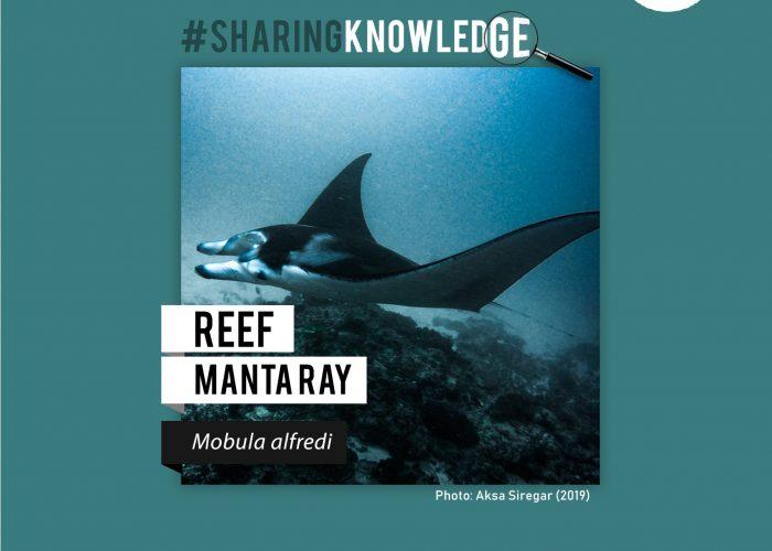 Reef Manta: Hewan yang ramah