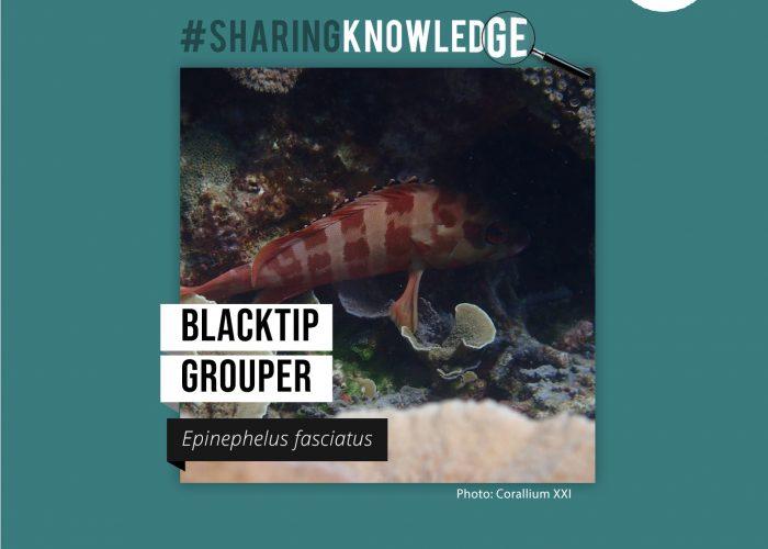 Blacktip Grouper: Epinephelus fasciatus