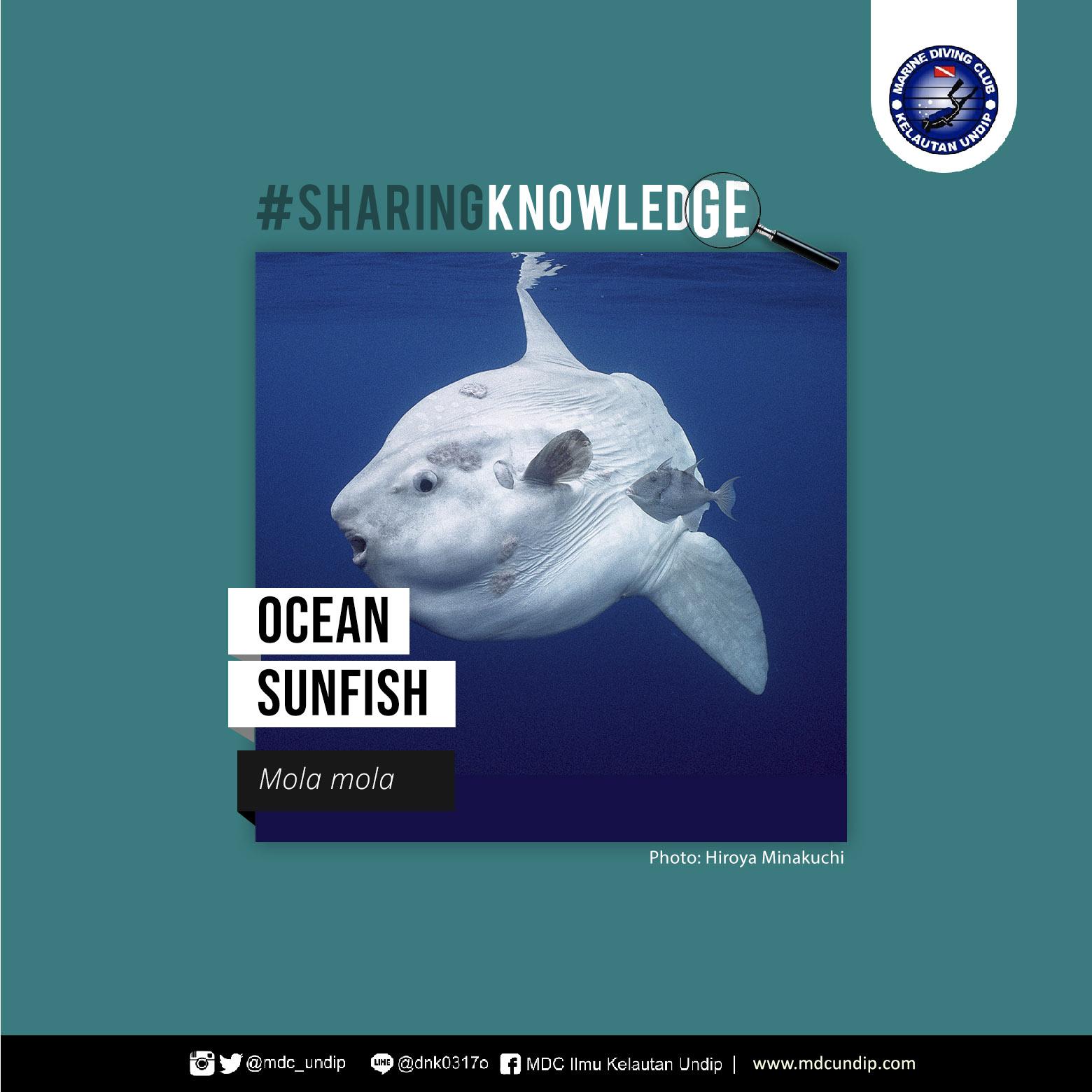 Uniknya Ikan Matahari, Ikan Terbesar di Lautan