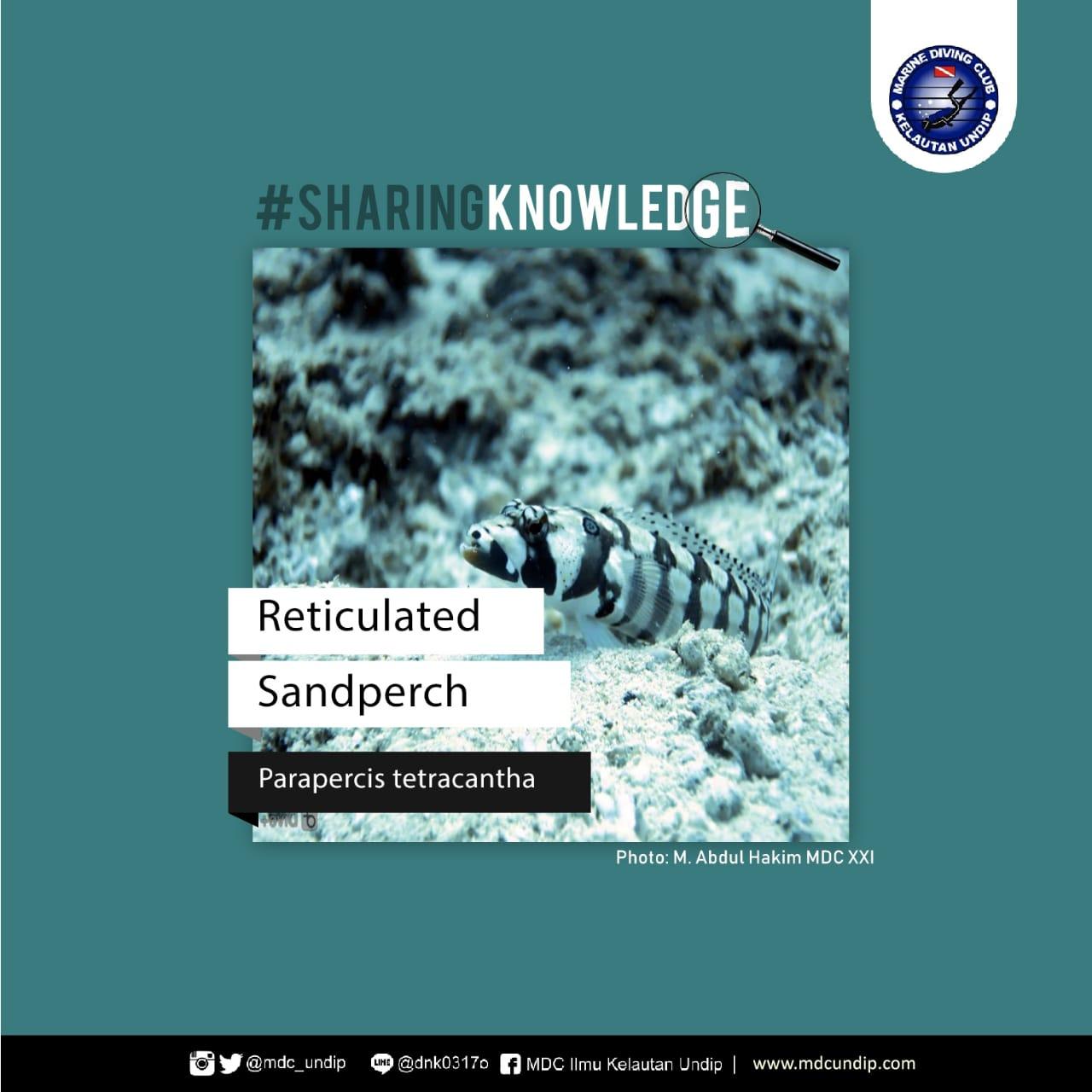 Sandperch: Parapercis tetracantha