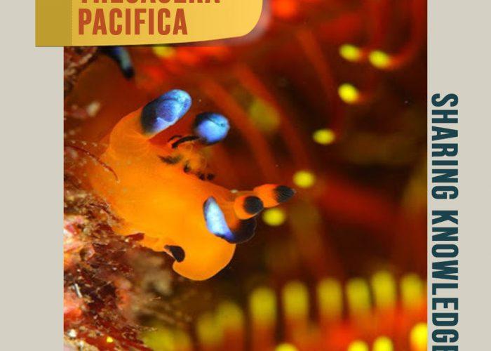 Pikachu yang Menjelma Sebagai Siput Laut, Thecacera pacifica