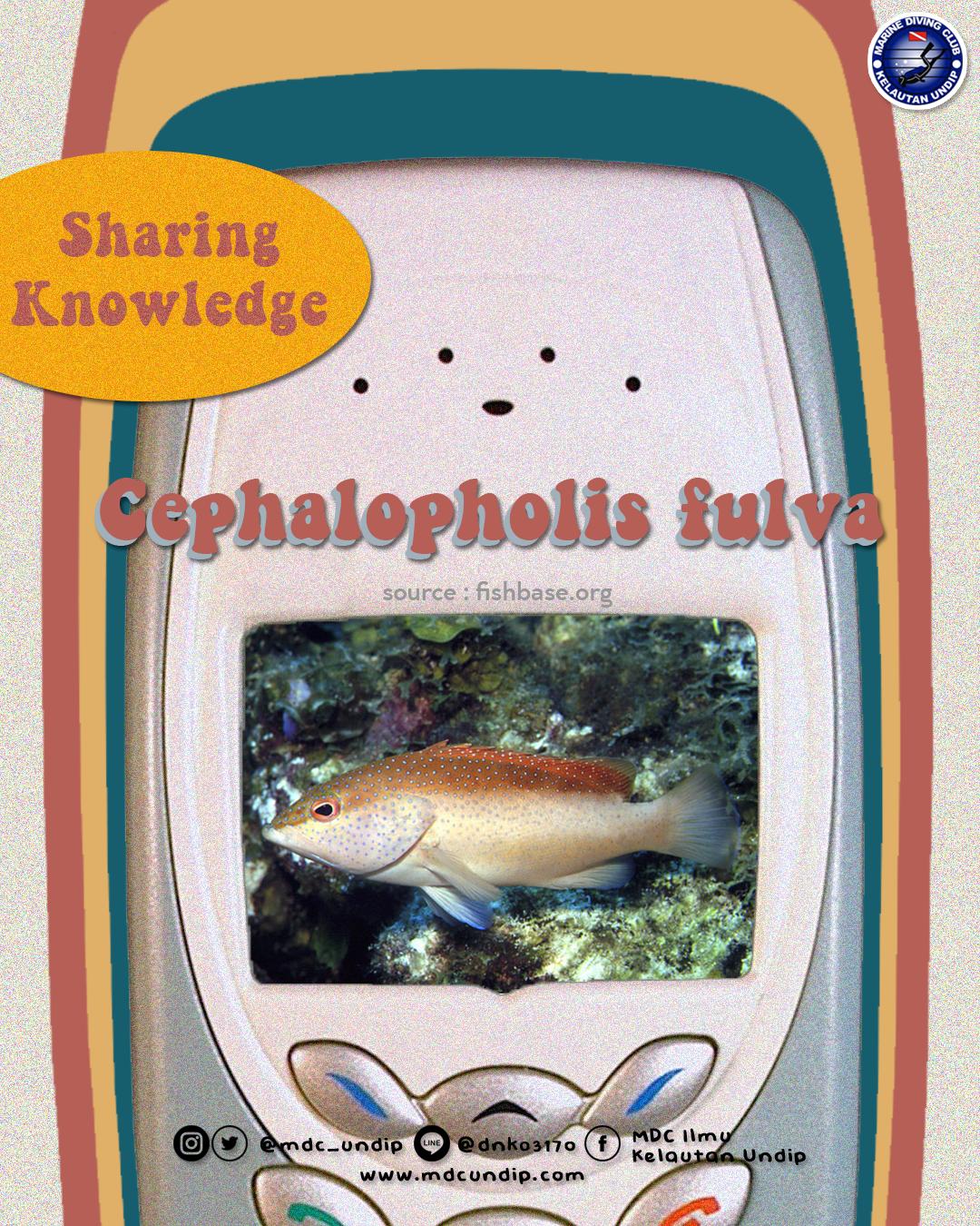 Cephalopholis fulva, Satu Ikan Banyak Warna